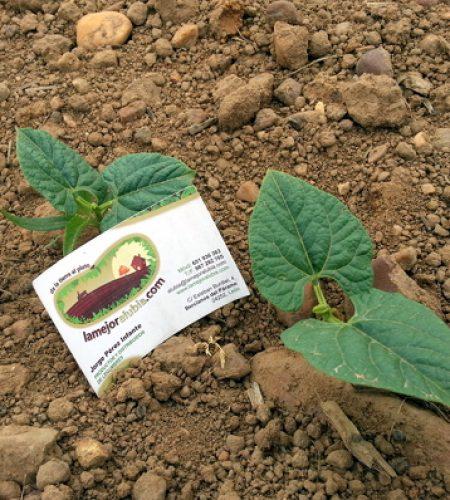 Estas son las plantas que producirán la próxima cosecha. Nacen fuertes y sanas porque lo hacen en uno de los mejores terrenos. Este es el sustrato que ha dado fama a las alubias de Bercianos durante generaciones.